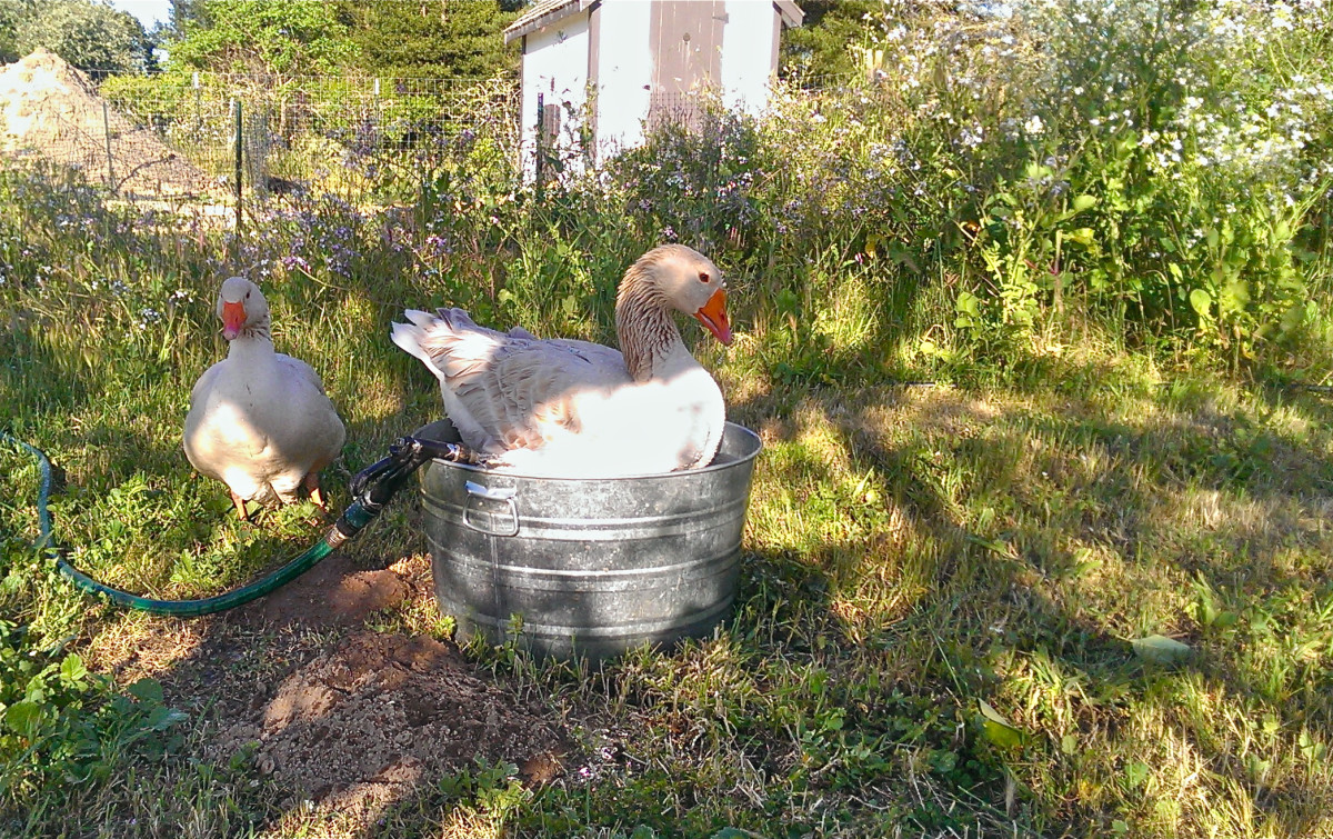 Kaisa the goose in a bucket. farm, goose, duck, flock, farm girl, permaculture