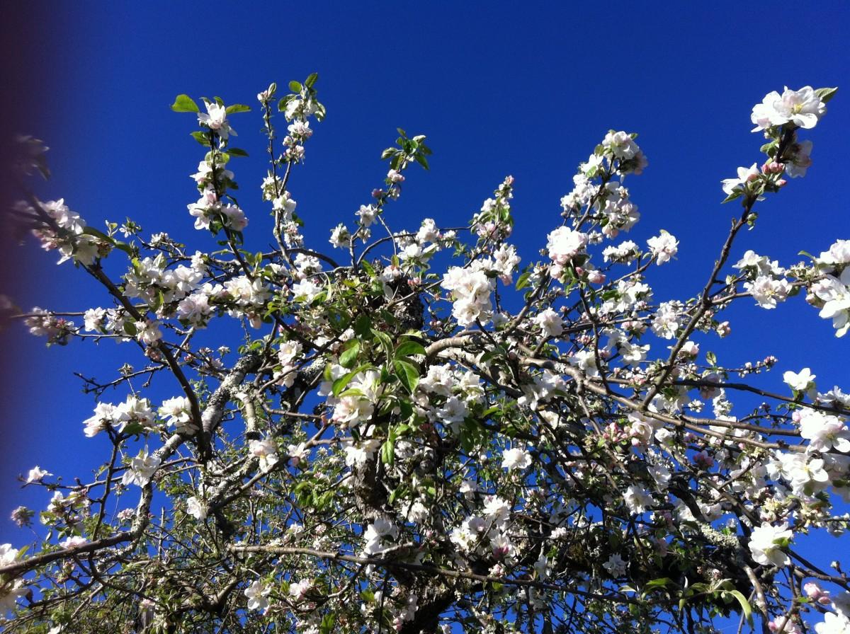 Moon Acre Farm gravenstein apple blossom