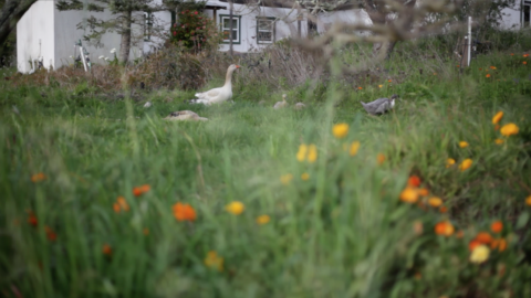 Free-ranging Ducks and Geese – on the move