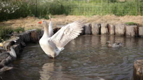 The Majestic Goose Spreads His Wings!